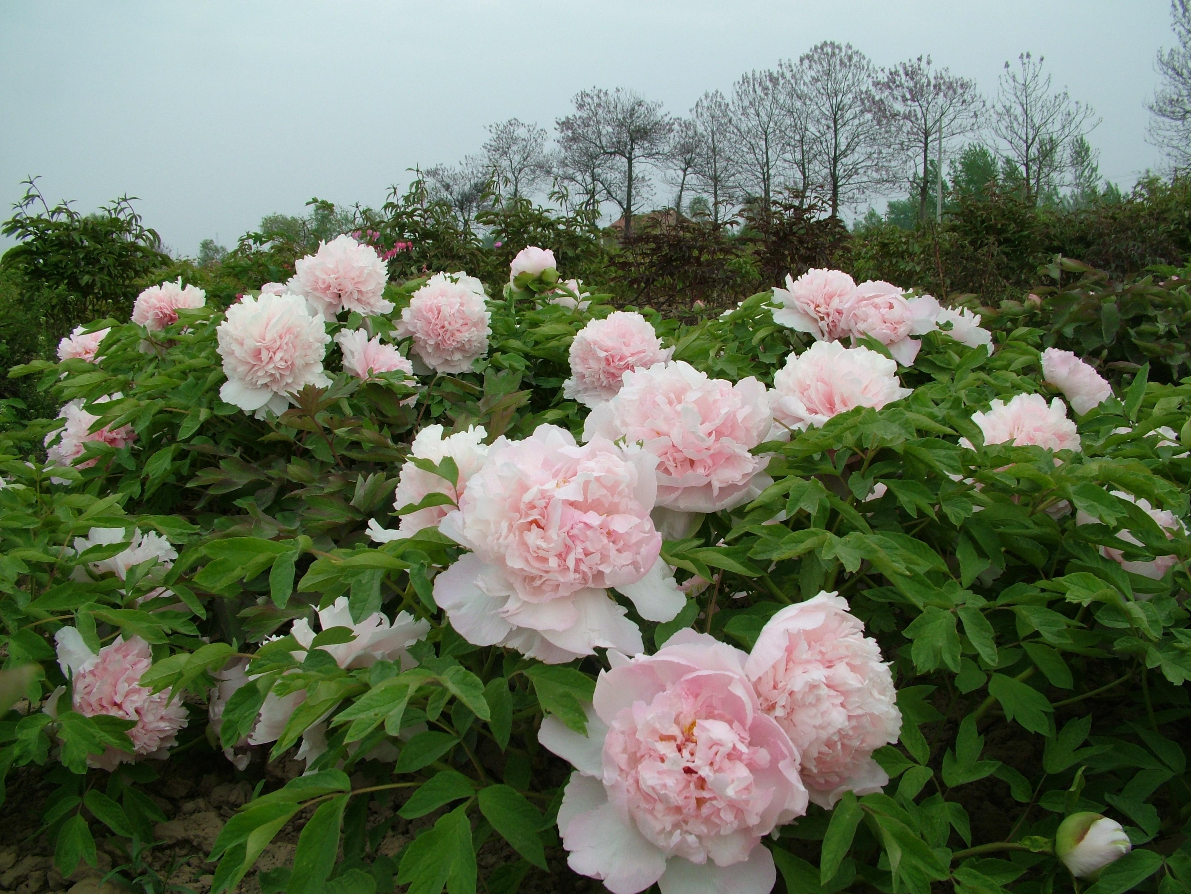 zhao s pink z hao fen chinese tree peony