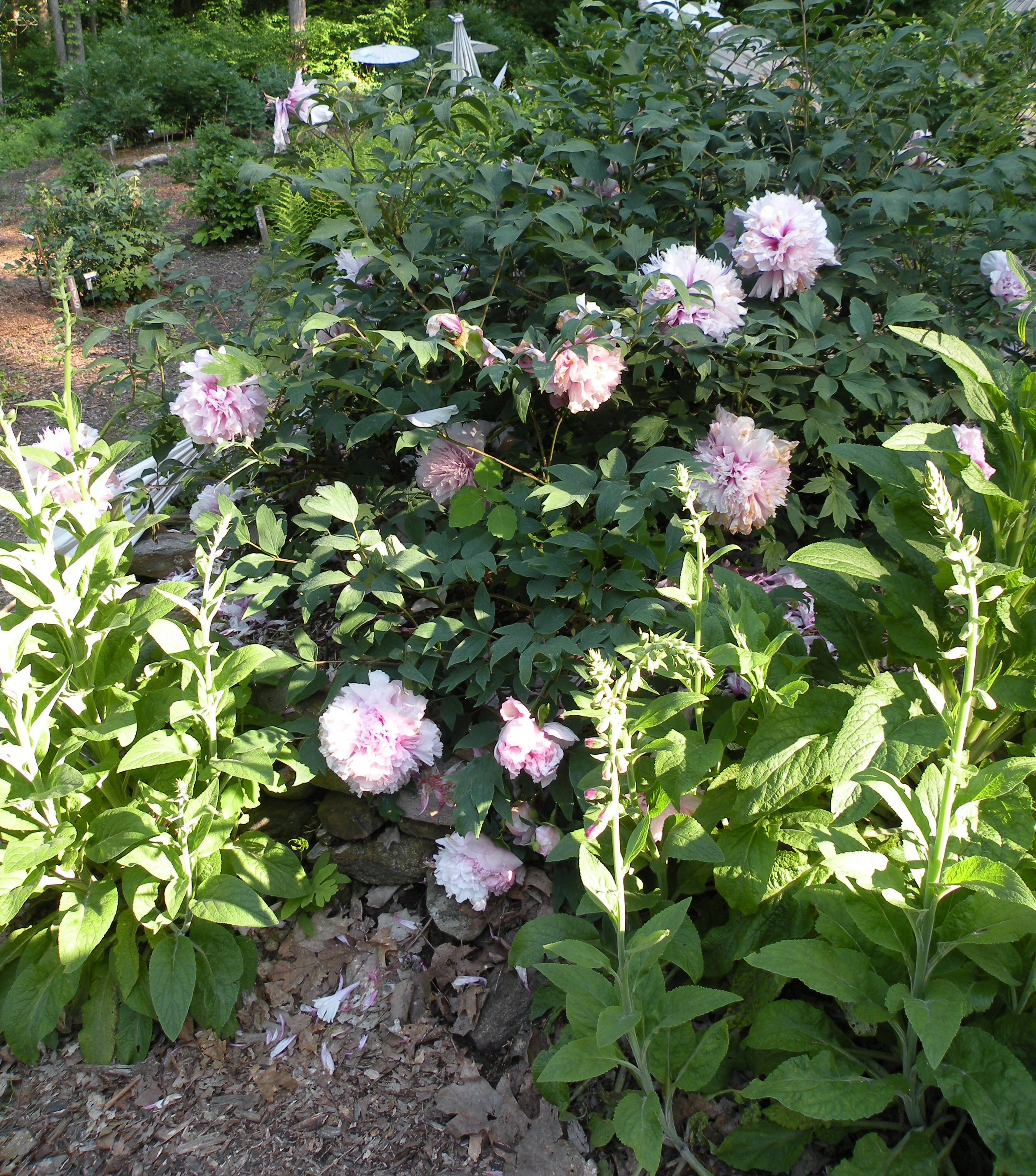 Peony Growth Habits A Peony For Every Place Cricket Hill Garden