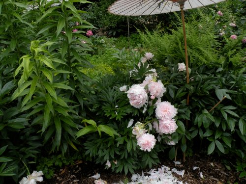 Some cultivars of P. lactiflora herbacoeus peonies were selected for flower size alone.  Such varieties have a dendency to droop down. They make excellent cut flowers but are less desirable for landscape plantings.
