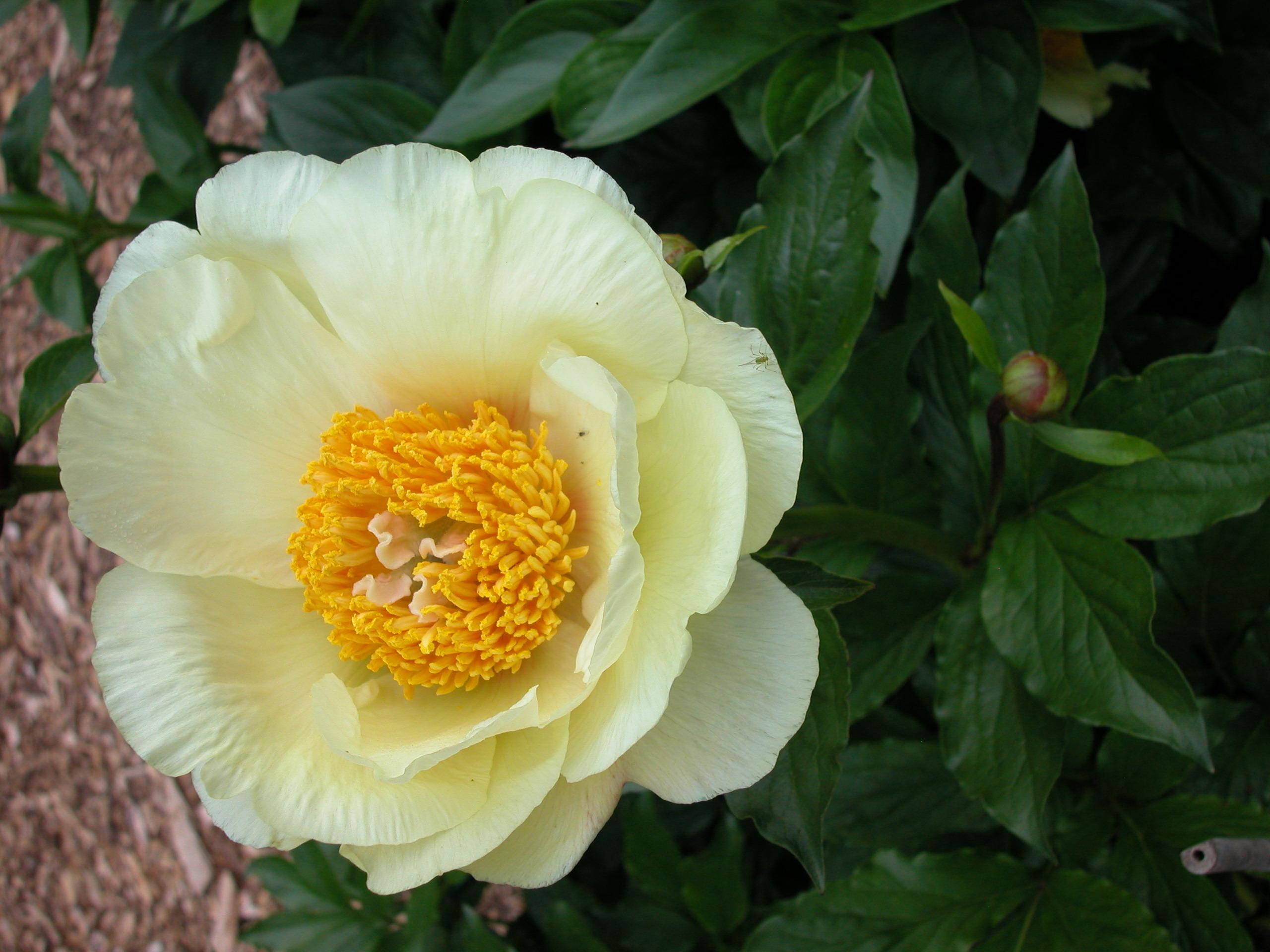 Peony Flower Forms Cricket Hill Garden