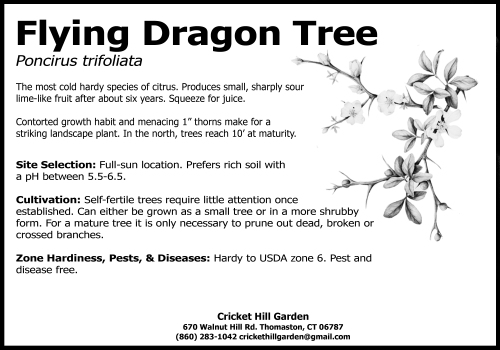 flying dragon tree