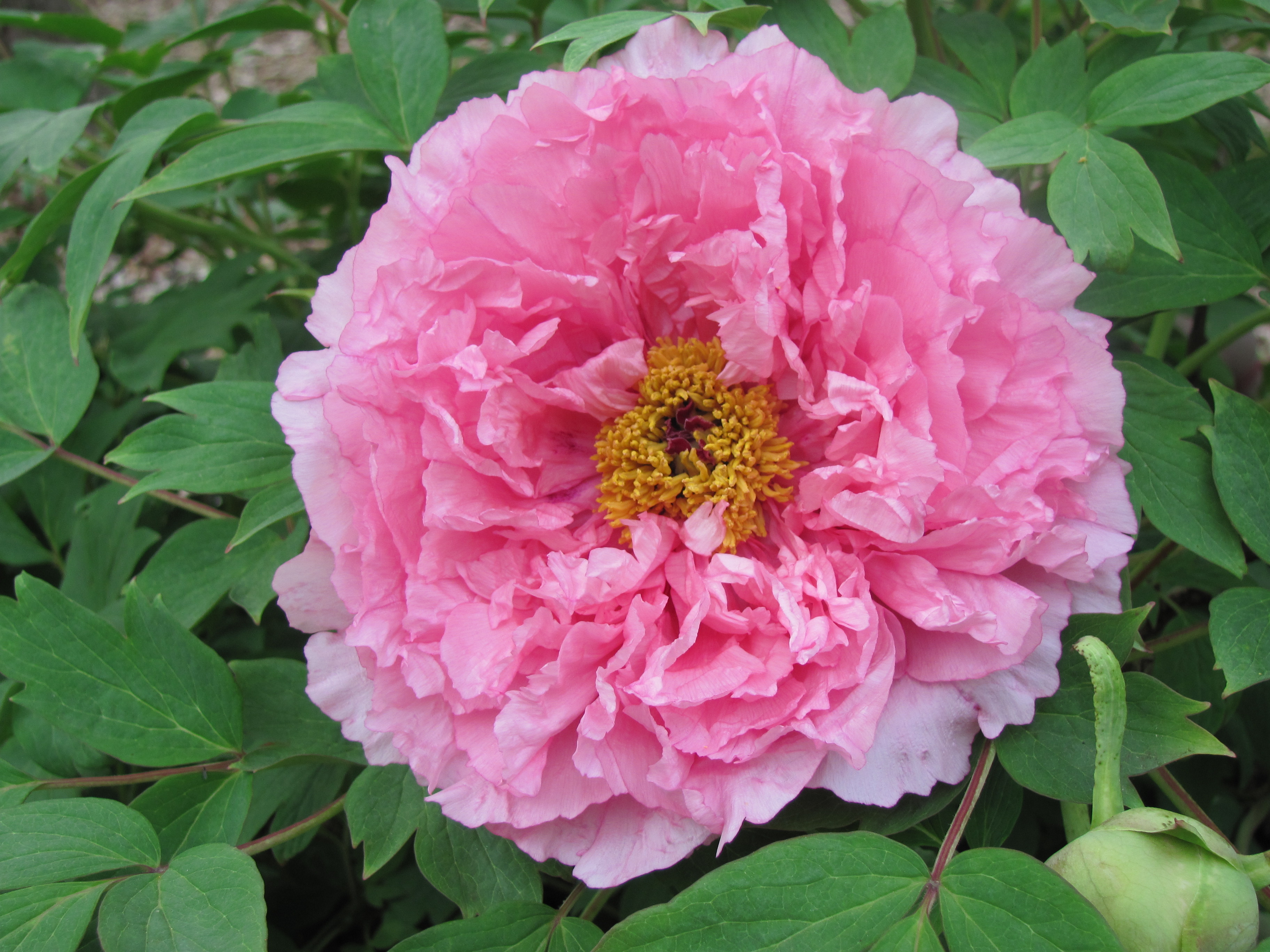 Peony flower forms cricket hill garden hibiscus with a pk complex izmirmasajfo Image collections