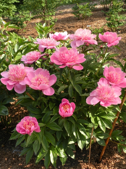 Variteies of P. lactiflora account for many of the best known herbaceous peonies.
