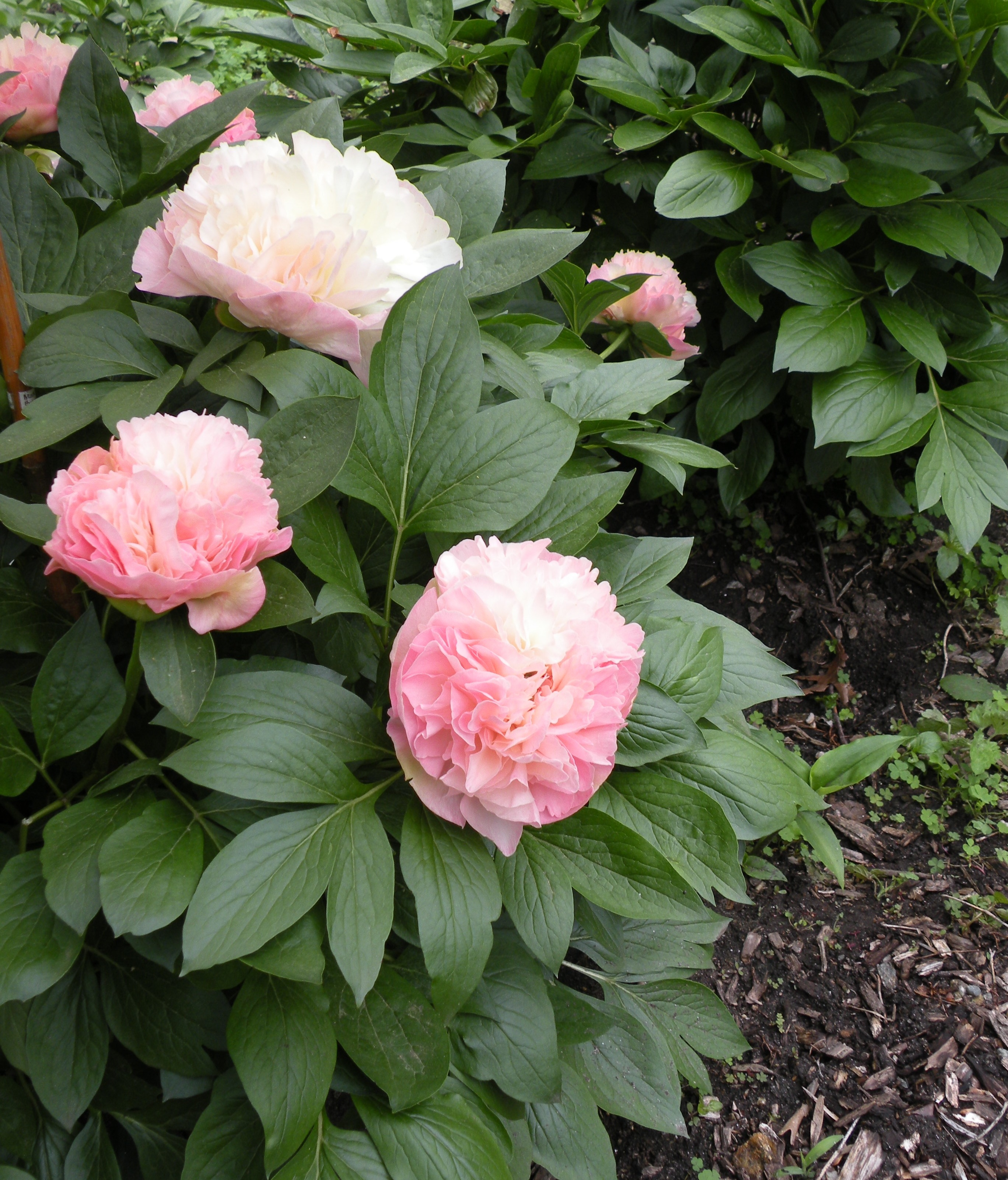 Peony growth habits a peony for every place crickethillgarden - Growing peonies in the garden ...