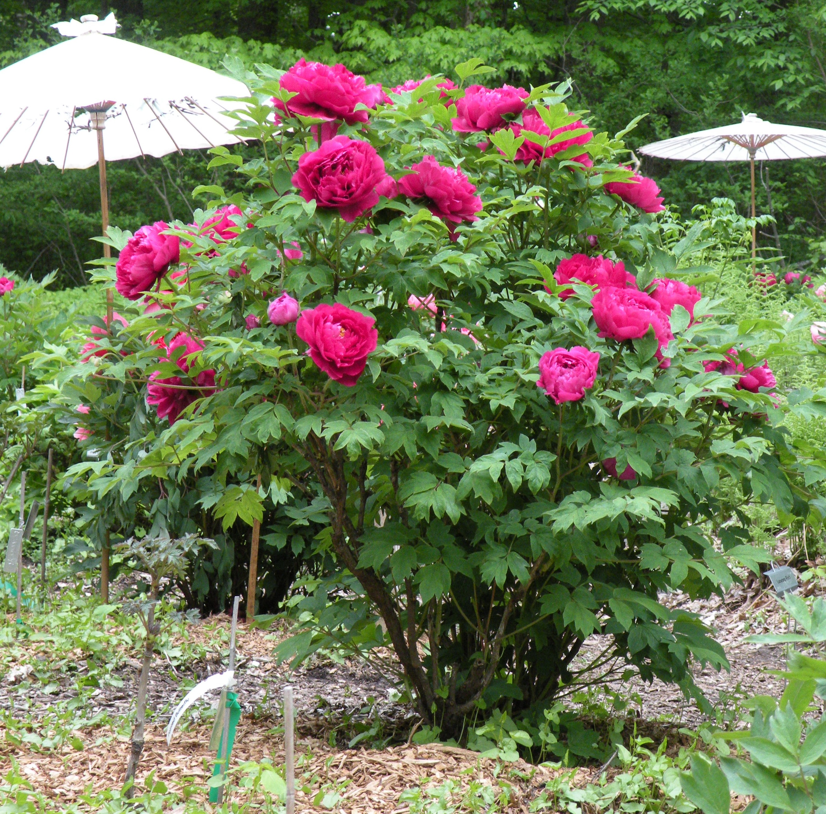 Tree Peony Care and Reference | crickethillgarden