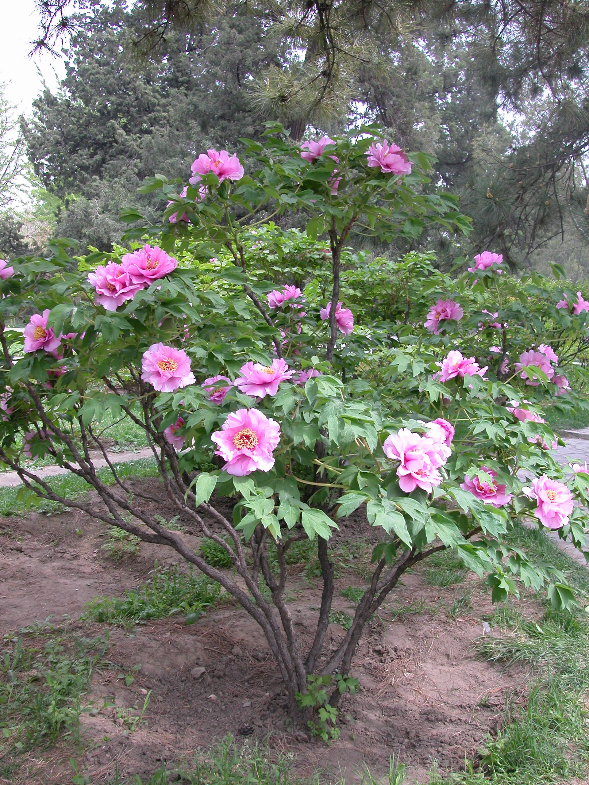 Upright form tree peony Sichuan Peach Blossom , blooming in Beijing ...