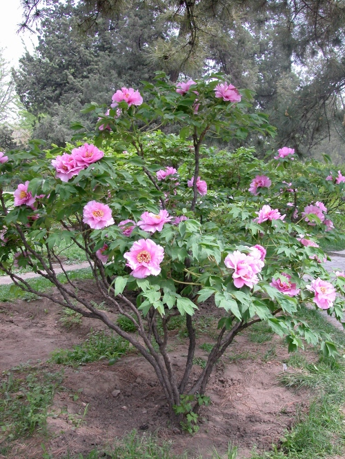 Upright form tree peony blooming in Beijing, China. Note how the yearly growth has been removed so the majestic woody structure of the plant is clearly visible.