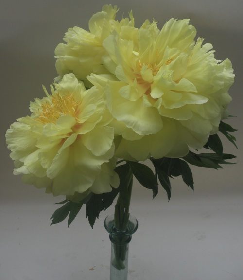 In addition to being an excellent landscape plant, Bartzella's 8-9'' blossoms also make for a unsurpassed cut flowers.