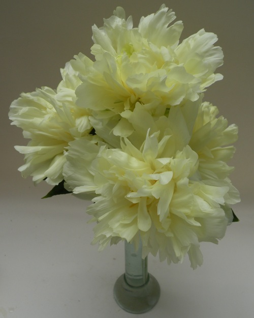 'Golden Wheel' is a rare Chinese herbaceous peony which is a true pure yellow without a hint of red.