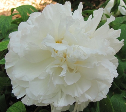 a rice bowl  filled to the brim  one peony ~ Buson