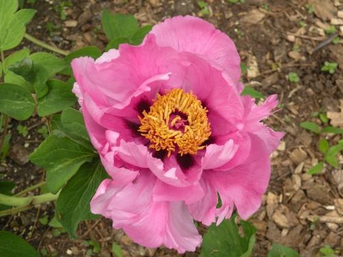 'Sichuan Peach Blossom'