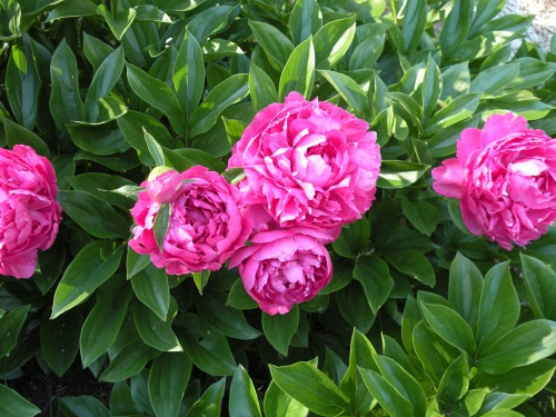 'Riches and Honor'. The name of this peony in Chinese is one of many name given to these flowers.