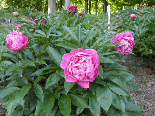 'Maiden's Dress' rivals any peony in sumptuious appeal. It's blooms are large, luscious and oh so fragrant!
