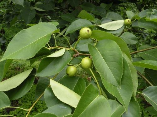 'Hosui' Japanese pear. We grow our asian pears as 'no-spray' and are able to harvest delicious fruit with little insect damage  in late summer.
