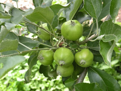 'Northern Spy' apple fruitlets. With the dry spring this year, the apple trees are not infected with scab or apple cedar rust.