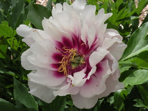 Before we forget about peonies, its worth noting the 'Cora Louise' intersectional peony has had a very long bloom this year.