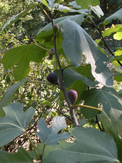 The warm weather will hopefully continue for another week or two and ripen these black figs. We find that lighter colored figs, such as our own 'Silver Dollar' variety ripen earlier and more rilable in our climate.