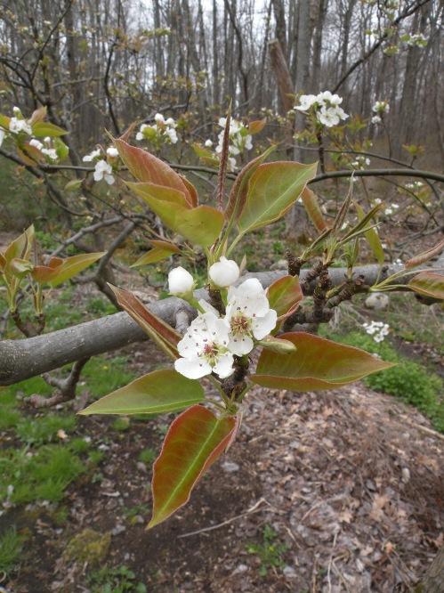 hosui blossom.jpg