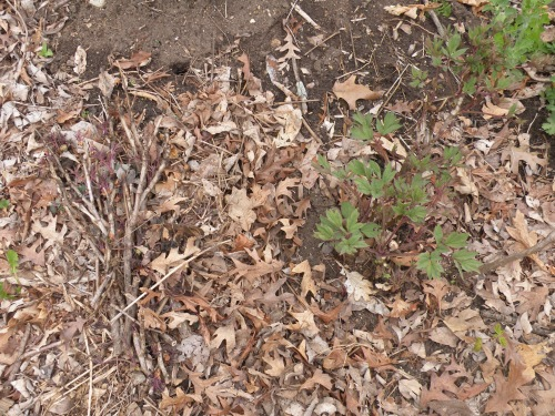 winter kill prunings.jpg