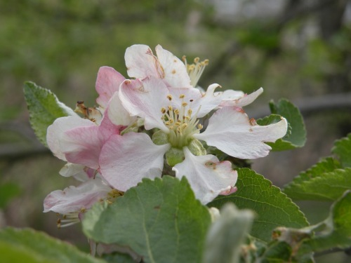 Continuing with members of the Rosacea family, apples are also in full bloom.
