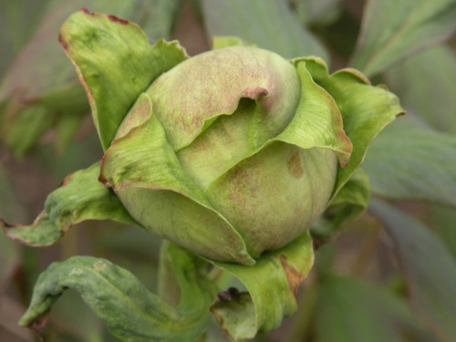 So many peony blossoms still to come. The majority of buds are still hard as marbles.