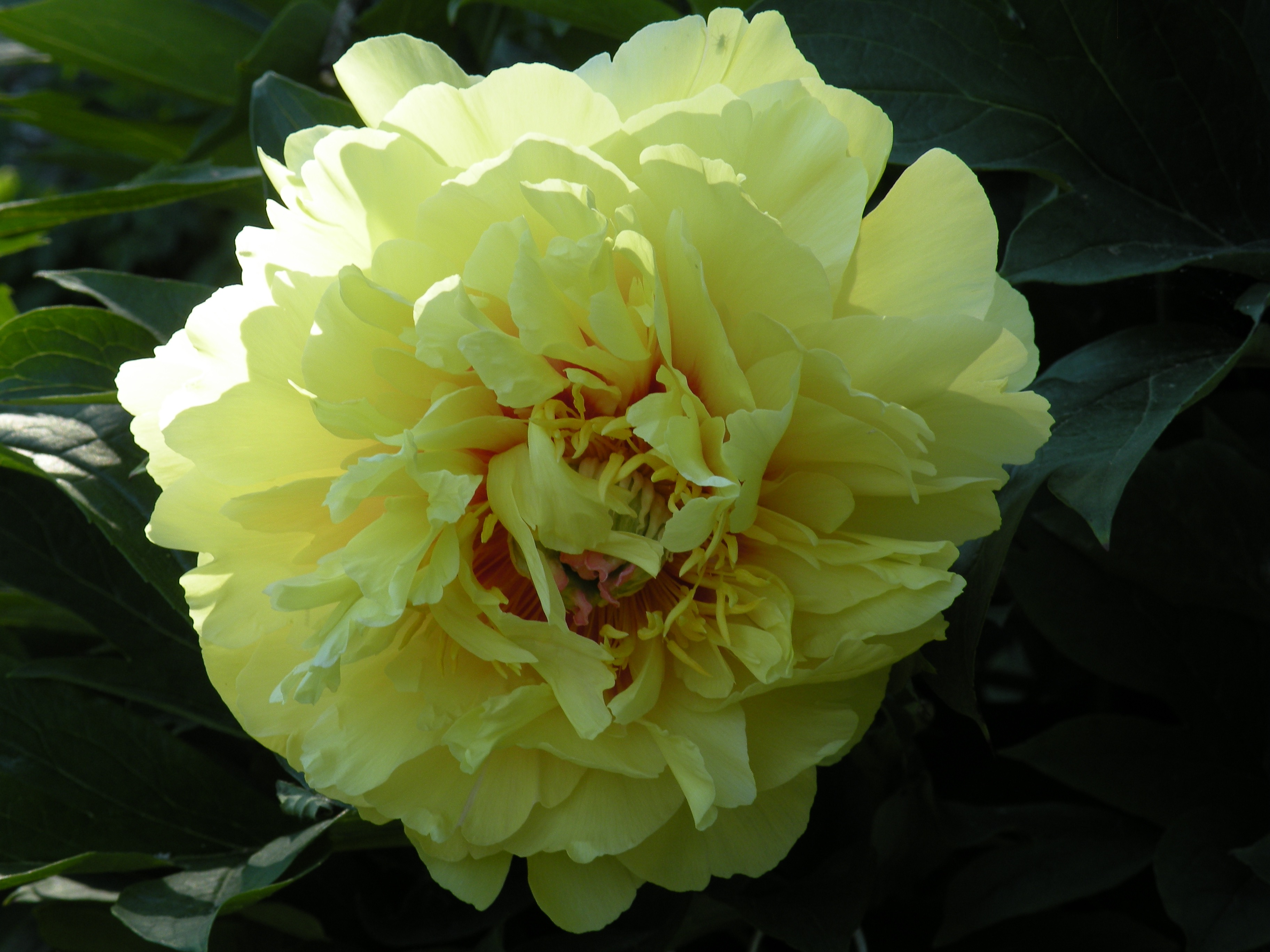 U0027Garden Treasureu0027 A Long Blooming, Intersectional Or U0027Itohu0027 Peony. Plants  Produce Many Buds And Has A Prolonged Bloom As Flowers Take Turns Opening.
