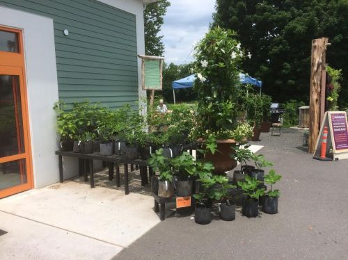 We hope to introduce our organically grown fruit and berry plants to some new gardeners with our display at New Morning Market in Woodbury, CT.