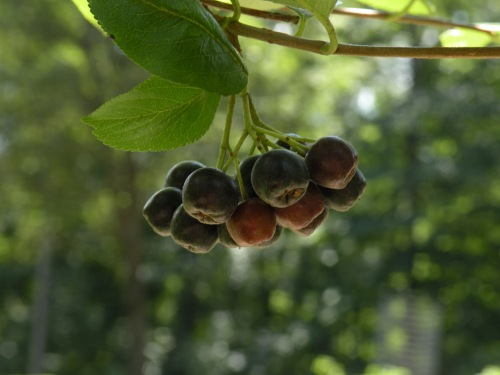 Aronia berries are almost ripe!