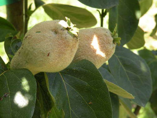 'Portugal' quince staring to size up. These will be ready for harvest in about six weeks.