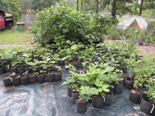 fig nursery